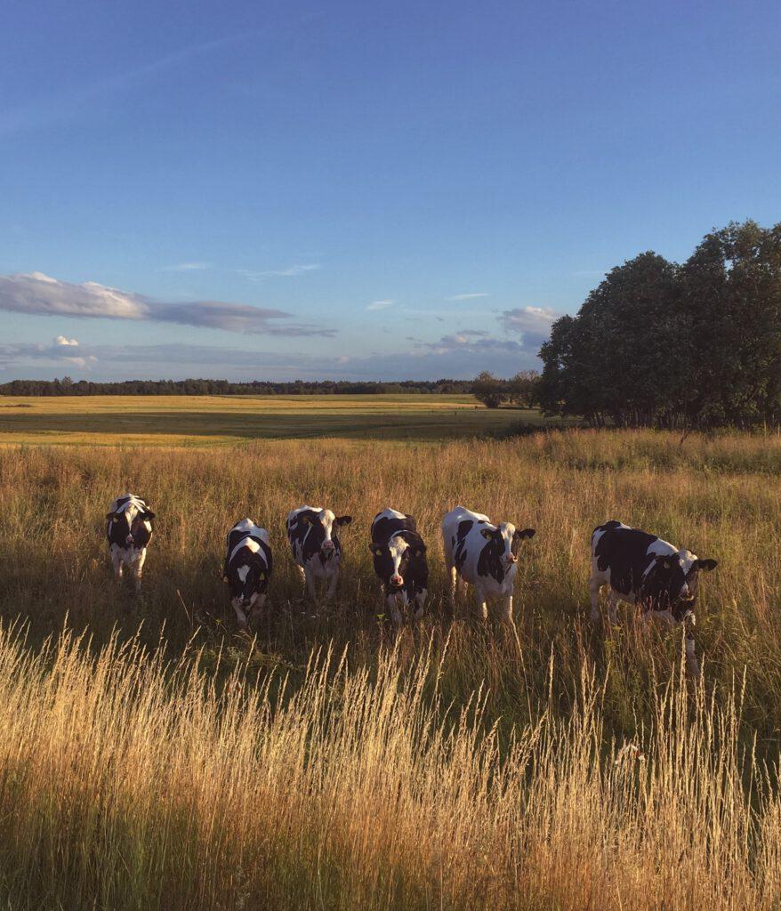 Lehmiä Viron maaseudulla